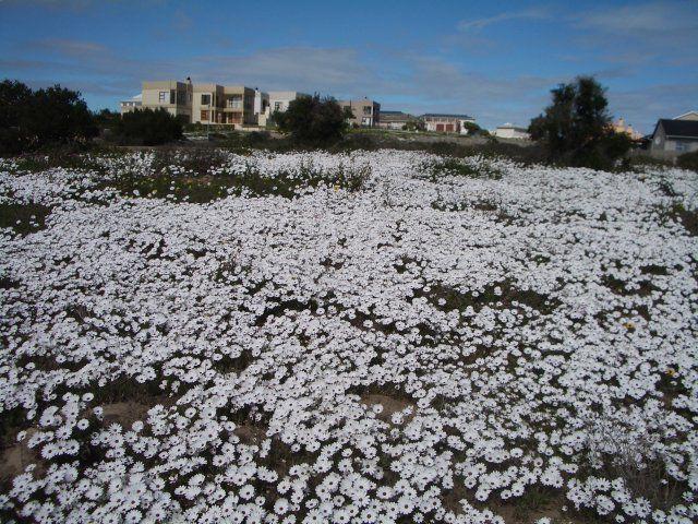 Spring flowers between the houses in Langebaan, West Coast - Western Cape.