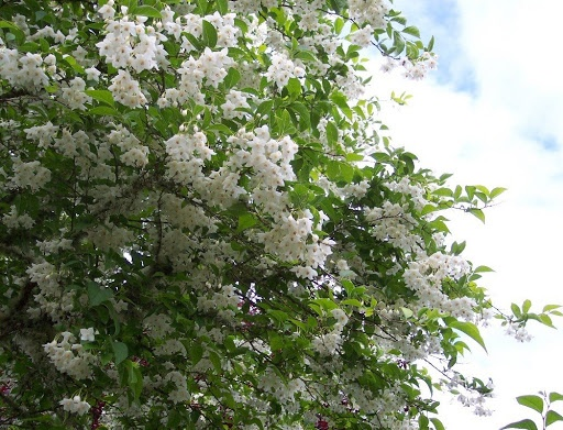 17 best images about small spring flowering trees on for Small japanese tree