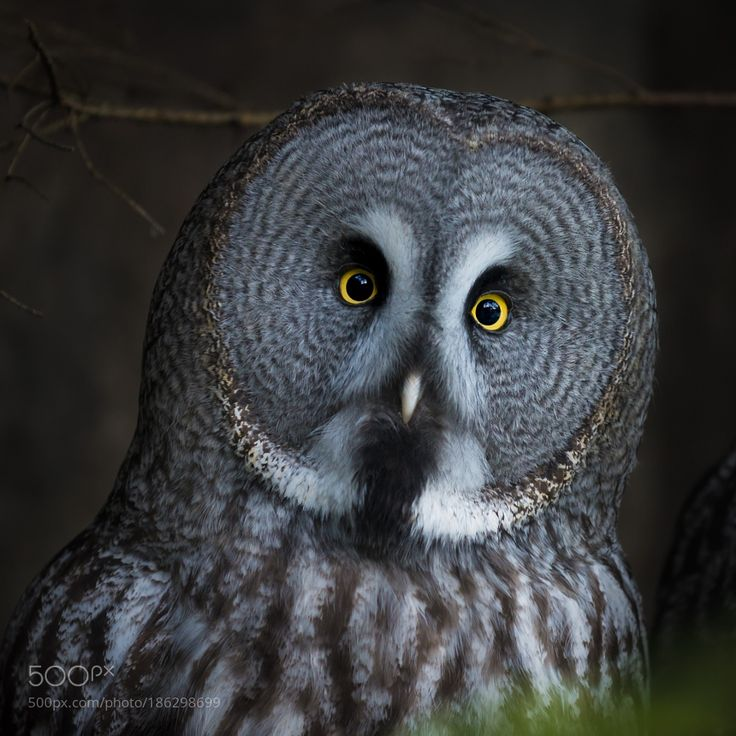 http://500px.com/photo/186298699 Portrait of the Great Grey Owl by andersgreen -The Great Gray Owl captured in Skansen open air museum. Stockholm Sweden.. Tags: portraitzooswedenstockholmowlskansencaptivitystrixgrey owlStrix nebulosa