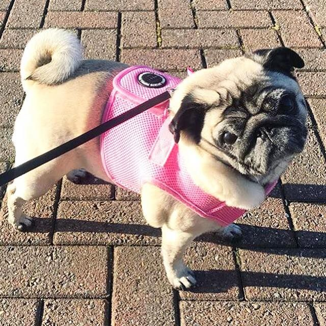 Pink Puppia Step In Harness Jacket Available At Www Ilovepugs Co