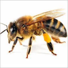 Piqûres d'abeilles et de guêpes : comment se protéger et réagir