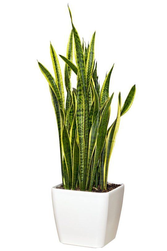 "2. Sansevieria (also known as Mother-in-Law's tongue) ""That is the all-time indestructible houseplant. It is gorgeous. It's very modern,"" D..."