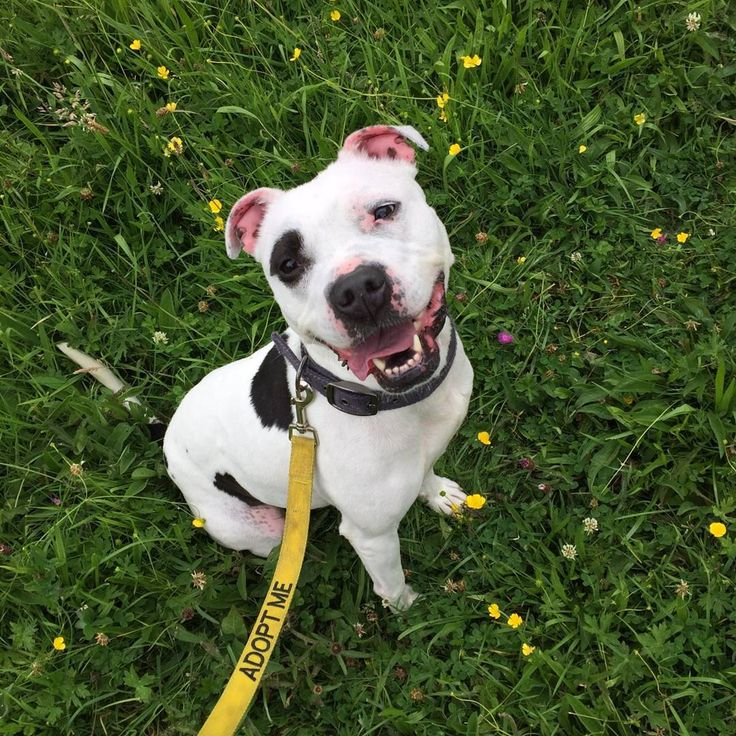 Bella. Adopt me. #happystaffierescue #staffordshirebullterrier #staffies #bullbreed #worcestershire