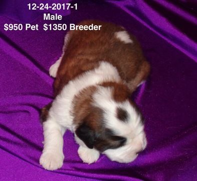 Litter of 4 Saint Bernard puppies for sale in IMPERIAL, MO. ADN-61779 on PuppyFinder.com Gender: Male. Age: 3 Weeks Old