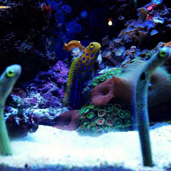 233 Best Reef Safe Fish Images On Pinterest Saltwater