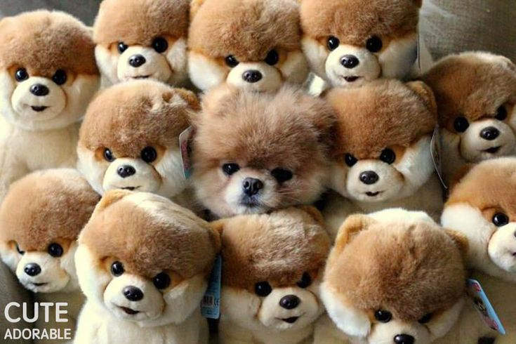 i choiced this picture because it shows how a pomeranian can always hide with different toy pomeranians very well. can you find the real pomeranian?