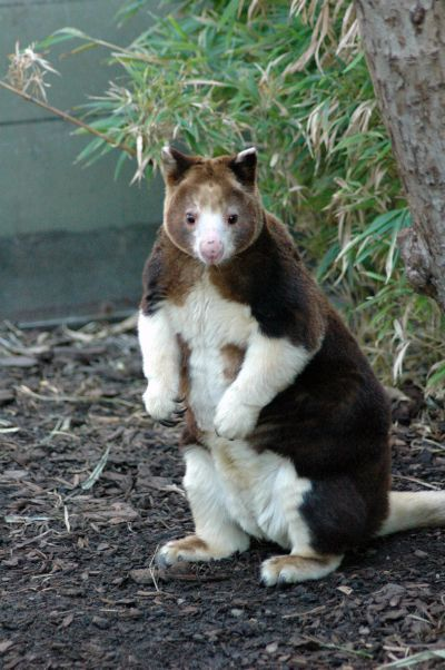 Tree Kangaroo, never knew this existed! It looks like a tiny bear head on a fat cat body:)