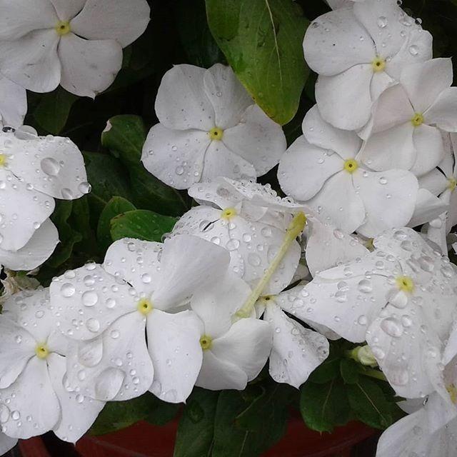 пол белый бальзамин красивое фото выпала