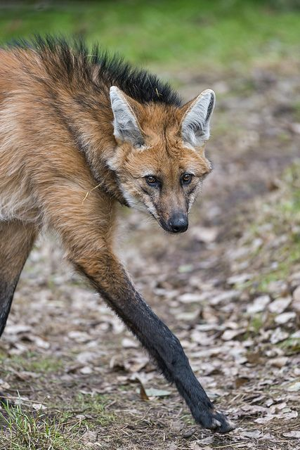 The long leg of the maned wolf by Tambako the Jaguar on flickr