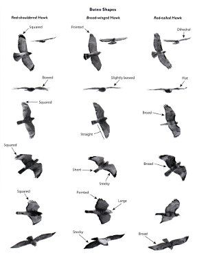 Review: Hawks from Every Angle: How to Identify Raptors In