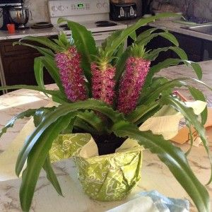 421de7cbab9598b4993563bd5238339d--houseplants-the-flowers Large Leaf Houseplants Pineapple on large leaf trees, large leaf hydrangeas, large leaf perennials, large leaf food, large leaf basil, large leaf ivy, large leaf ferns, large leaf recipes, large leaf shrubs, large leaf palms, large leaf vines, large leaf philodendron care, large leaf iris, large green leaf, large leaf lilies, large leaf planters, large leaf succulents, large split leaf philodendron, large leaf hibiscus, large leaf weeds,
