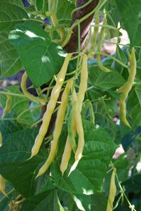 343 Best Images About Pea Bean Varieties On Pinterest 400 x 300