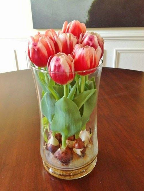 Faire fleurir des bulbes de tulipes en vase