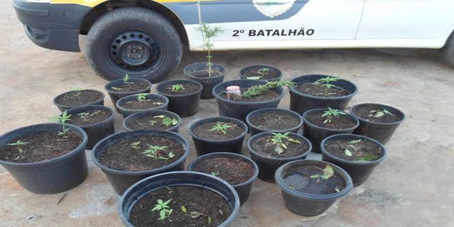 Policiais Militares realizam a apreensão de plantas de maconha em sítio - http://projac.com.br/policial/policiais-militares-realizam-apreensao-de-plantas-de-maconha-em-sitio.html