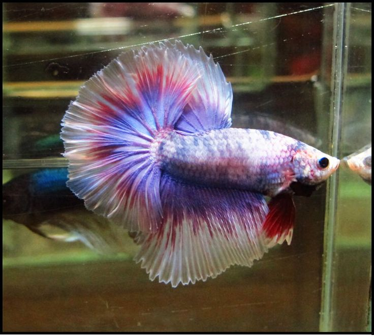 Hm purple male nice color betta fish pinterest for Purple betta fish