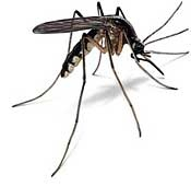 Mosquito Dunk