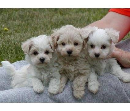 Teacup maltipoo-this is the one i want