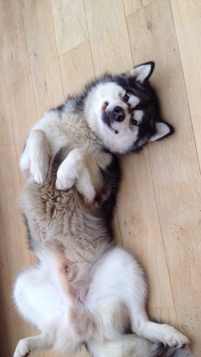 Resultado de imagen para cane husky rub