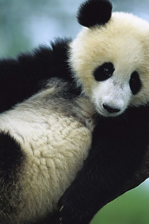Panda bite - photo#47