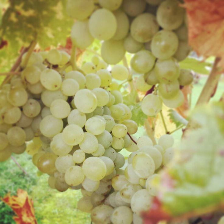 Bude vinobraní #vinobrani #vinnareva #bylinkovepanstvi #radost #podzim