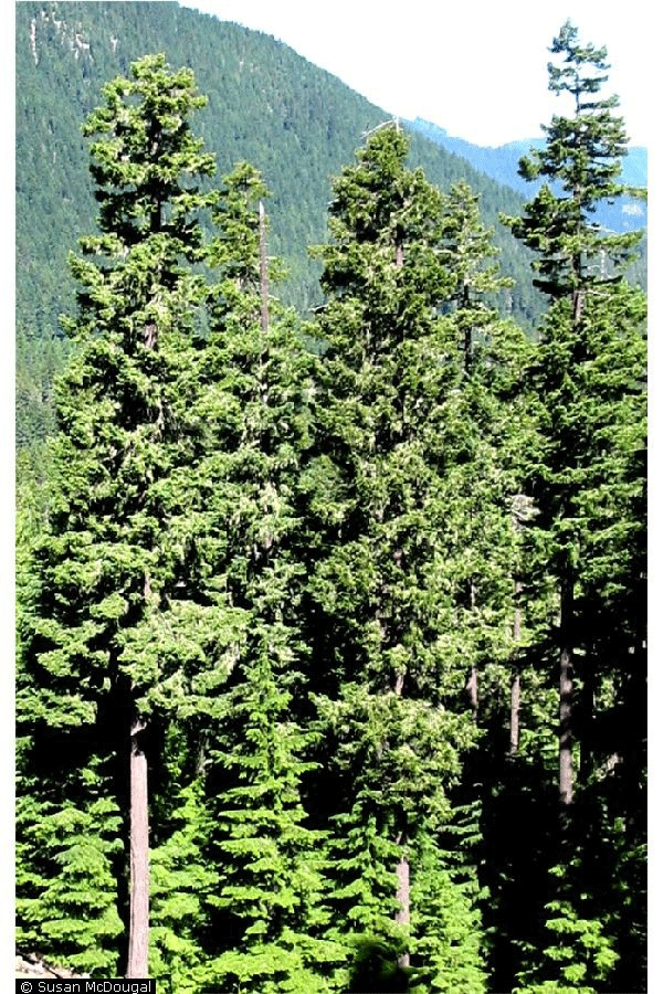 50 best images about douglas fir on pinterest british columbia national forest and elevated. Black Bedroom Furniture Sets. Home Design Ideas
