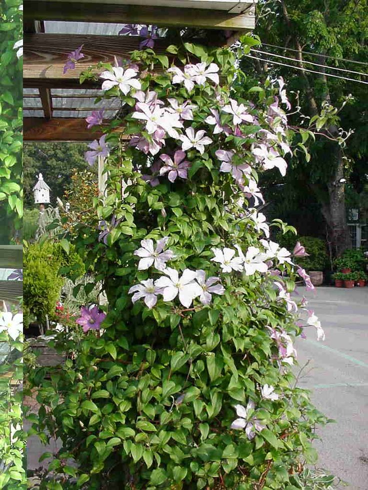 clematis vine keep roots cool plant deep good in shade. Black Bedroom Furniture Sets. Home Design Ideas
