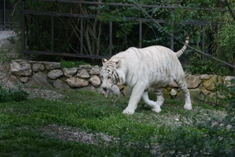 Tres tigres blancos y uno albino  Se acaba de presentar en sociedad a los cuatro tigres blancos en el zoológico Skazka, situado en Yalta (Ucrania).