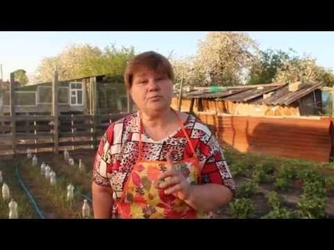 (1) Выращивание капусты под бутылками. - YouTube
