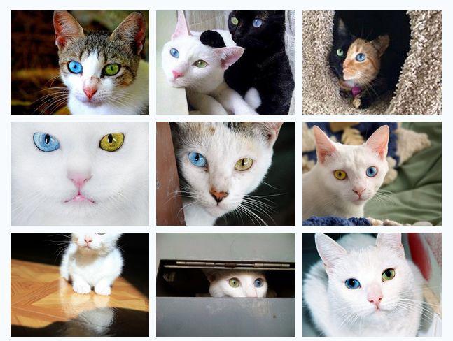 """2 colors eyes cat รวมรูปแมว """"ตาสองสี"""" ความผิดปกติของร่างกายที่ซ่อนไว้ซึ่งความงาม - Thailand Cute Pet"""