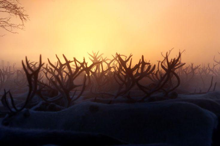 Um rebanho das renas é visto dentro de um cerco durante o nascer do sol no estabelecimento de Krasnoye no distrito autônomo de Nenets, Rússia, 28 de novembro de 2016. REUTERS / Sergei Karpukhin