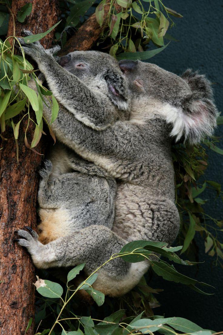 11 best koalas images on pinterest koala bears koalas and animals