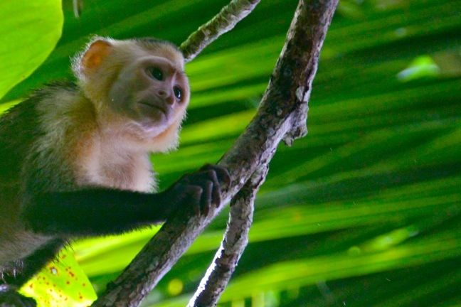 White-Faced Capuchin in Corcovado National Park - 40 Amazing Costa Rican Wildlife Species