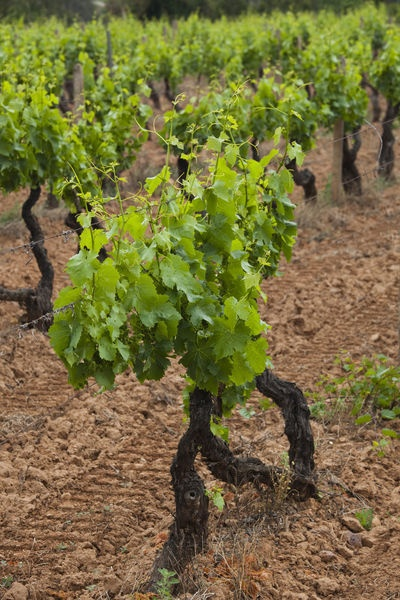 Vineyard, Jerzu, Ogliastra, Sardinia, Italy