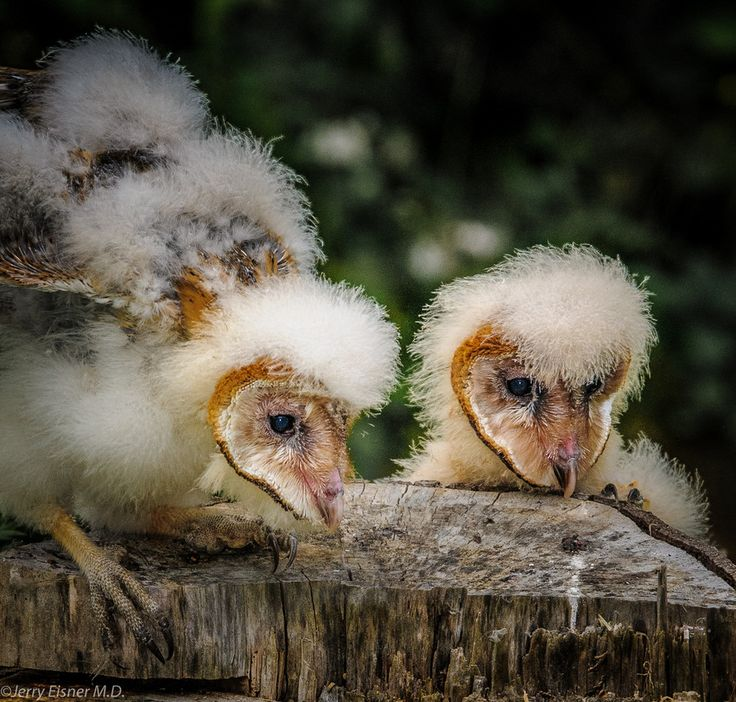 Oh my these wee babies are ugly! :) Baby Barn Owls by Jerry Eisner