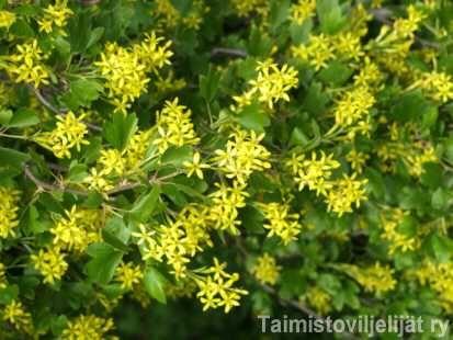 Ribes aureum KULTAHERUKKA  Kasvupaikan suhteen vaatimaton kultaherukka sopii vaikkapa aidanteeksi. Se sietää melko hyvin tuulta ja tiesuolaa. Lisäksi se kasvaa melko nopeasti ja kestää hyvin alasleikkauksen. Lehdistö: Lehdet puhkeavat varhain ja värittyvät syksyllä kirkkaan punaisiksi. Kukinta: Toukokuussa avautuvat keltaiset kukat tuoksuvat vahvasti. Marjat: Elokuussa kypsyvät mustat marjat ovat syömäkelpoiset. Kasvupaikka: Kultaherukka kukkii parhaiten aurinkoisella, kalkitulla…