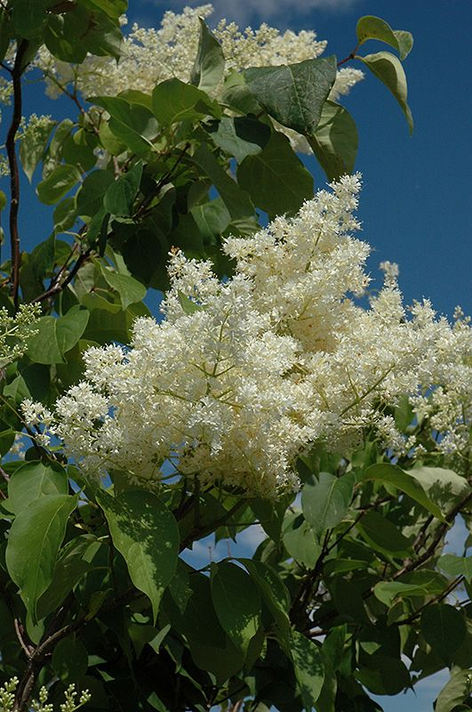 Click To View Full Size Photo Of Ivory Silk Tree Lilac Form Syringa Reticulata At Oakland Nurseries Inc Pinterest