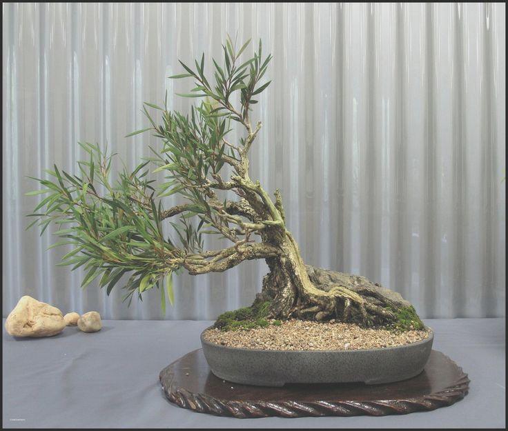Bonsai Tree Indoor House Plants - Elegant Bonsai Tree Indoor House Plants, Indoor Bonsai Tree Care
