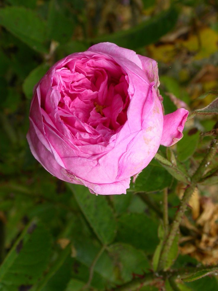 Rose : R. x centifolia