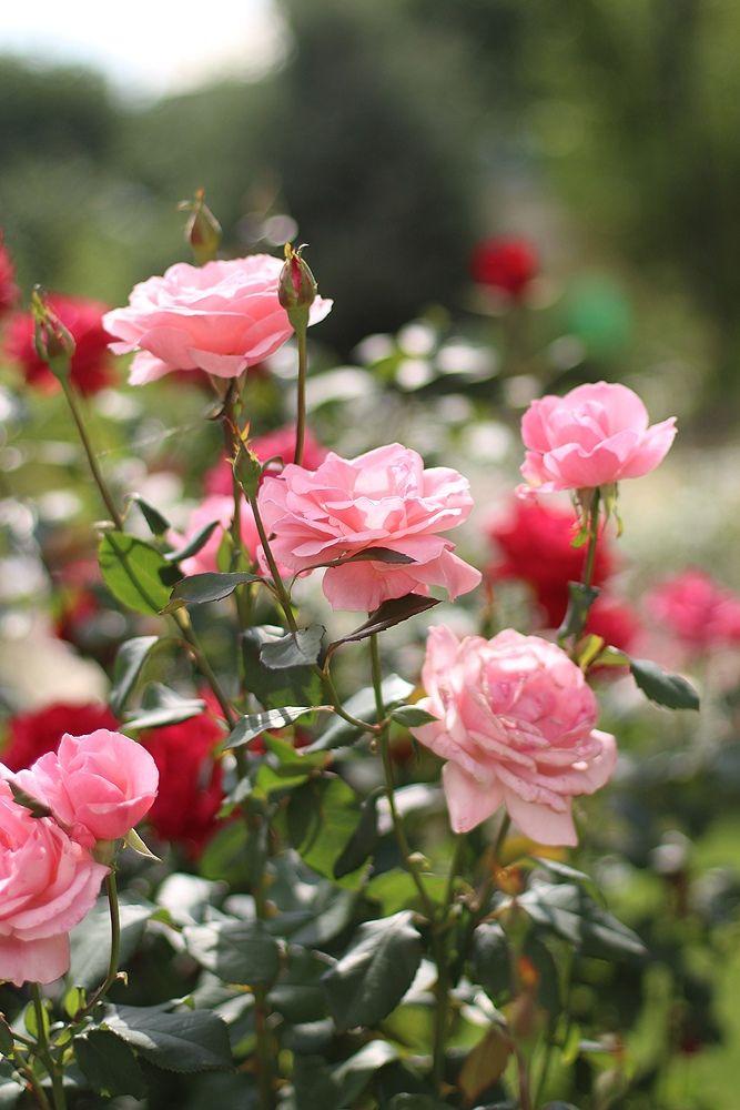 Розы в картинках с ответами