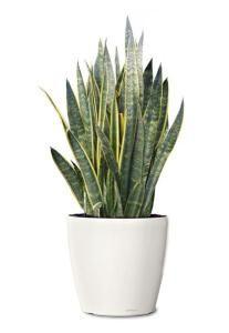 Сансевиерия - самое неприхотливое комнатное растение