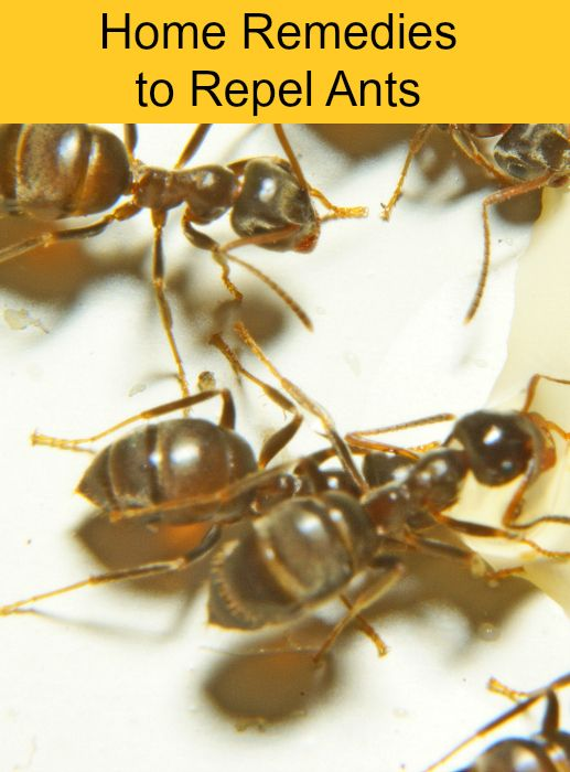 How To Get Rid Of Ants Naturally 5 Simple Methods Pests In The Garden Home Get Em Outta
