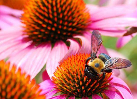 Coneflower Pollinator Plants