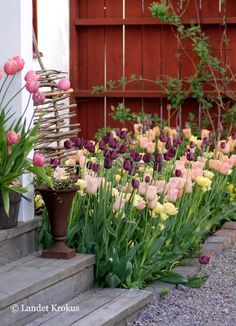 Anna-Karin's beautiful  garden in Vattholma | country crocus #outdoor  #flowers #tulips #reclaimed_wood #tulips #red_fence