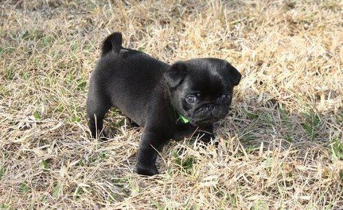 beautifull black pugs for sale