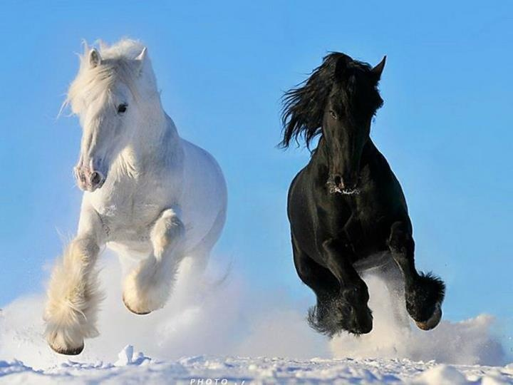 Two beautiful horses in the snow