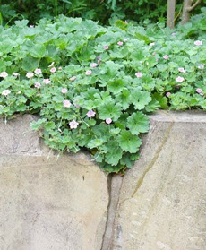 """Xanthe White design: Chatham Island Geranium - who knew? Geranium traversii var. elegans. """"this shallow rooting perennial has the compact growth appropriate for a shallow soil medium"""" p258 The Natural Garden"""