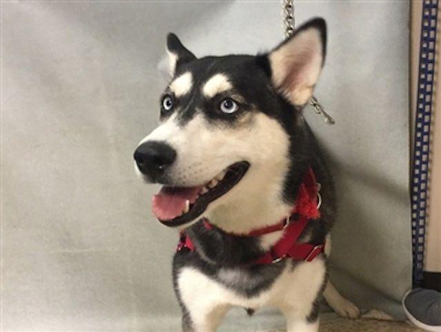 Pin On Siberian Husky That Need Your Help