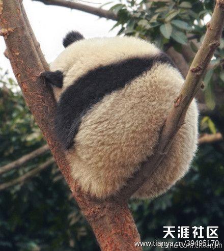 panda butt!