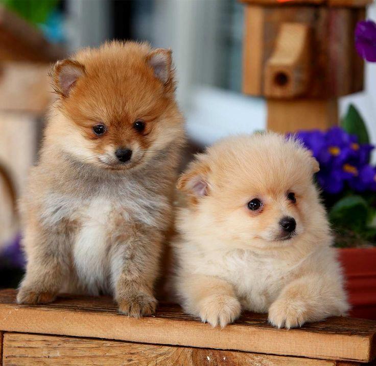 Pin By Dog Lover On Pomeranian Pomeranian Puppy Cute Pomeranian Pomeranian Facts