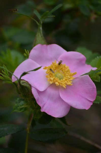 17+ best images about WILD ROSE on Pinterest   Minnesota ...